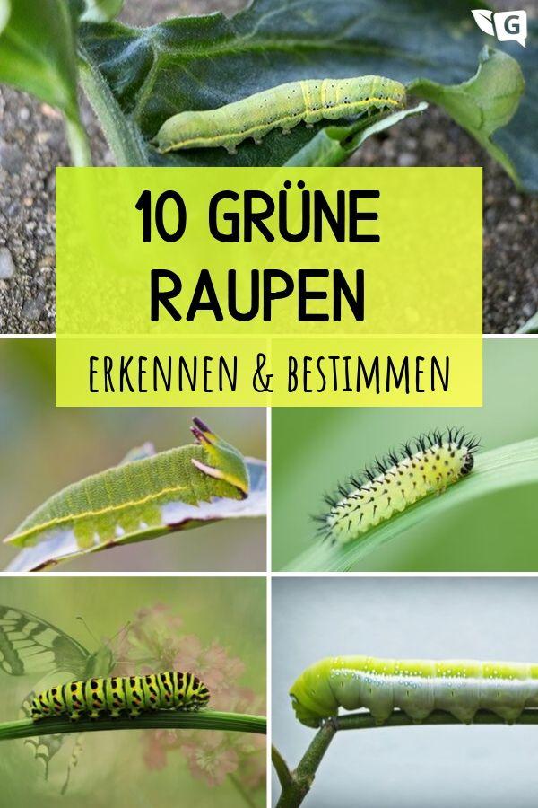 10 Grune Raupen Bestimmen Pflanzen Grun Garten