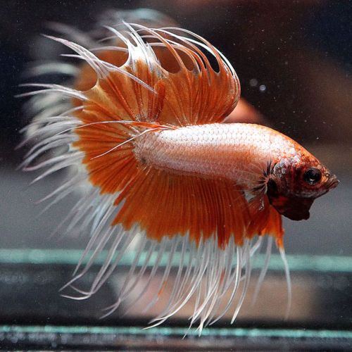 Best 25 betta fish ideas on pinterest betta types of for What type of water do betta fish need