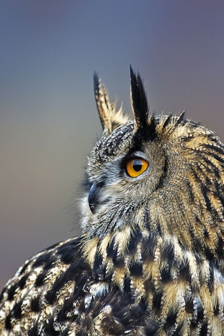 "Eagle Owl - Just started a board called ""Raptor Love"" I will be starting to pin all raptor pictures (owls, hawks, eagles etc) on that board very soon.  Just wanted to give you all a heads up :) Please follow! I don't want you to miss out on the raptors :)"