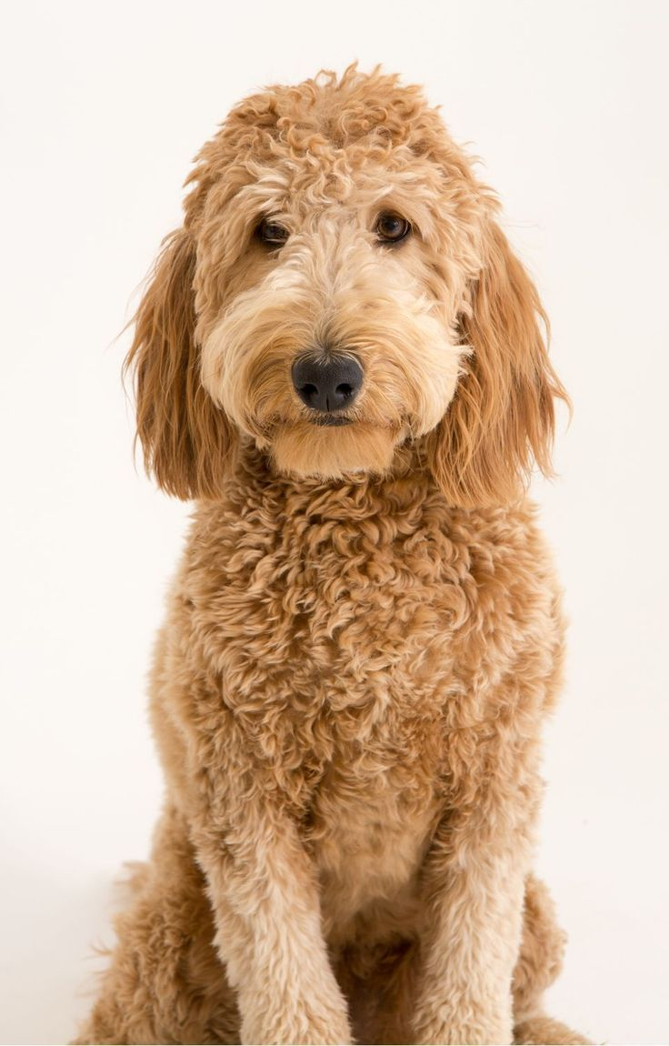 how to groom a goldendoodle head