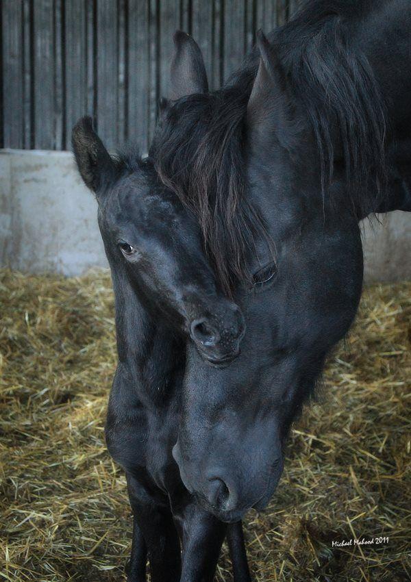 Horse love. Precious moment between mare and foal. Beautiful black horses.