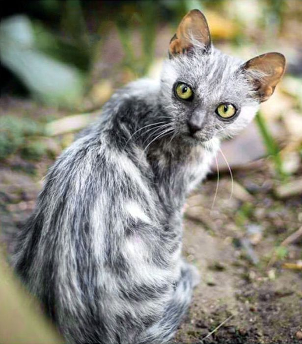"Tabby Lykoi mutation, Cape Town. | The ""Sparse Fur"" mutation eliminates all but the guard hairs, which tend to be short. While the sparse-haired ""Lykoi"" pedigreed cat must have a grizzled grey colour, the sparse hair mutation is independent of colour has appeared in a number of cats in the 2000s. http://messybeast.com/curly-cats-sparse.htm"