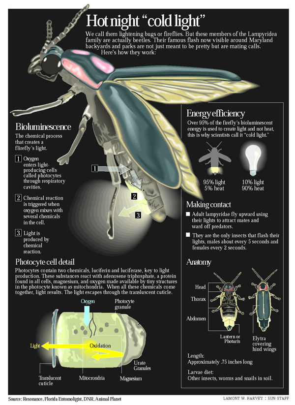 fireflies,scientific illustration - Google Search