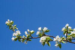 Pflegetipps für den Kakibaum