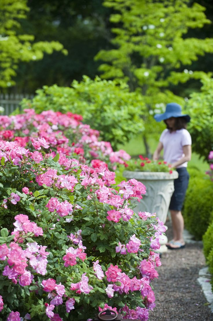 Roses In Garden: 274 Best Images About The Knock Out® Family Of Roses On