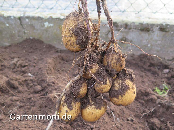 Kartoffel-Ernte aus dem Garten