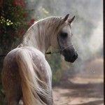Belleza árabe - I - El Mundo del Caballo - Caballos, razas de caballos, fotografías y videos de caballos