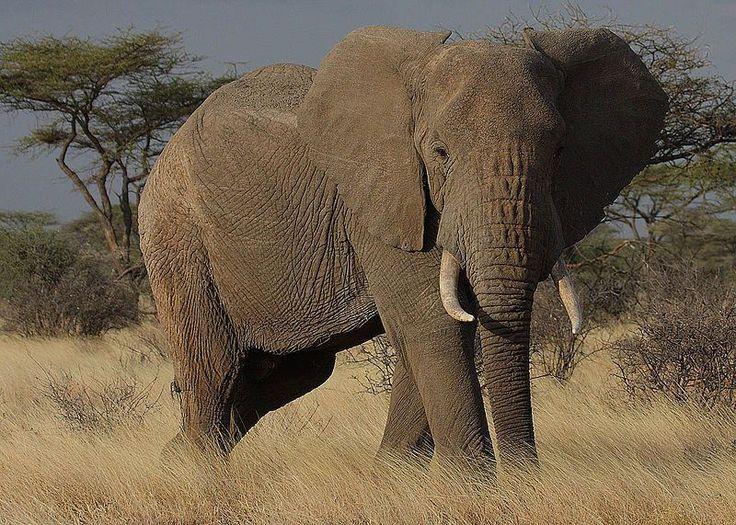 Si nous ne protégeons pas le éléphants,ils risque de disparaître. Dites NON ! au braconniers qui les tues pour l'ivoire de leur défense et l'argent ! C'est honteux. Soutenez les !!!!