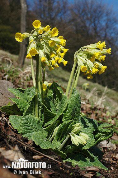 Prvosenka jarní je drobnější vytrvalá bylina z čeledi prvosenkovité. Rostlina dosahuje i s květem výšky 20–25 cm. Z podzemního oddenku vyrůstají měkké a svraskalé listy uspořádané v přízemní růžici.