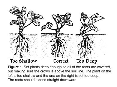 Everything you need to know to grow strawberries in your garden.: Gardens Lawn, Strawberries Gardens, Plants Strawberries, Google Search, Strawberries Plants, Earth Gardens, Strawberries Growing, Growing Strawberries, Gardens Growing