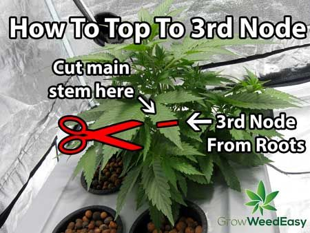 The first step of creating a cannabis manifold is to wait until plant has 6 nodes from seed, then top to the 3rd node. The 3rd node will soon become the main hub of the manifold.