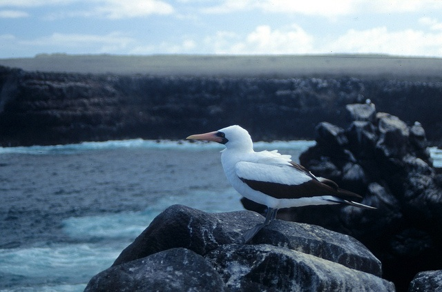 Nazca Booby, Sula granti, Sulidae - Galápagos Islands, Ecuador - looking over the sea by Derek Keats, via Flickr