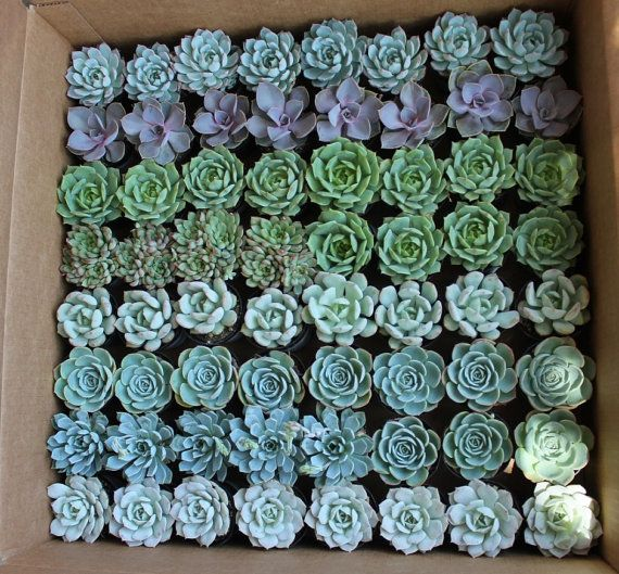 25 rosette succulents $38.75 from San Diego, Calif.   FOR THE TEACUPS
