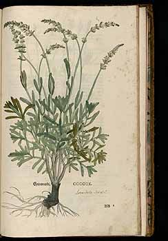 184925 Lavandula spicata ] / Fuchs, L., New Kreüterbuch, t. 510 (1543)