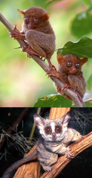 17 Best images about Tarsier on Pinterest | The ...