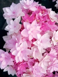 Beautiful new flower variety: You-Me Passion Hydrangea