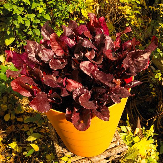 "'Sangre de Toro ""de la remolacha: Gardens Ideas, Container Gardens, Burgundy Leaves, Blood Beets, Growing Vegetables, Beets Leaves, Gardens Vegetables, Beets Sm, Gardening Vegetables"