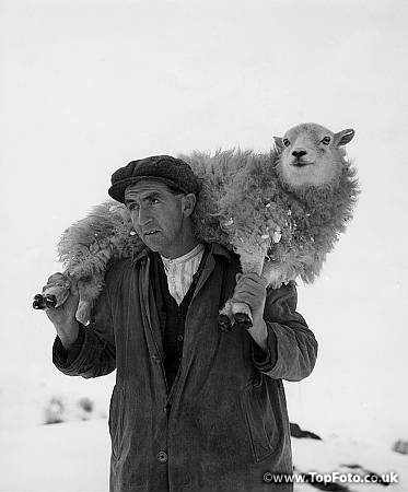 A Welsh Shepherd brings in a lame sheep from the winter snows of his hill farm Llangaver North Wales