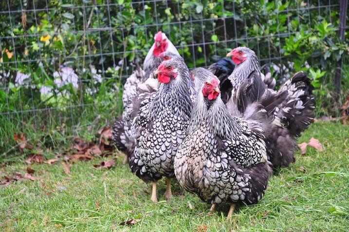 A konyhakert mellett nevelhetünk csirkét is a kertben!