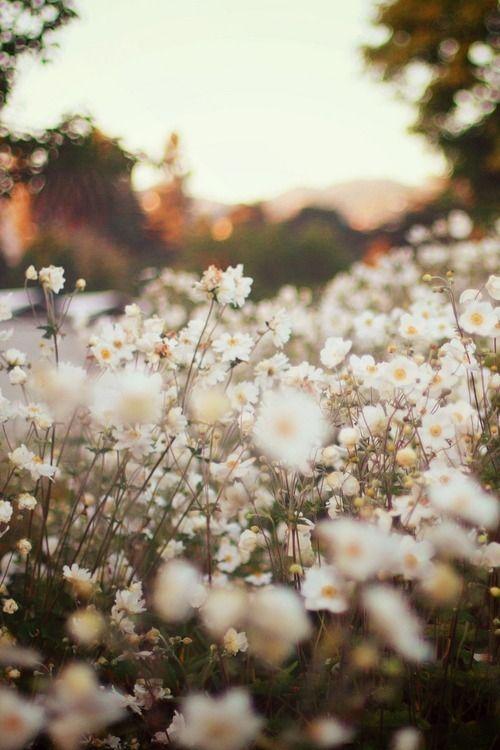 Campo de flores brancas.