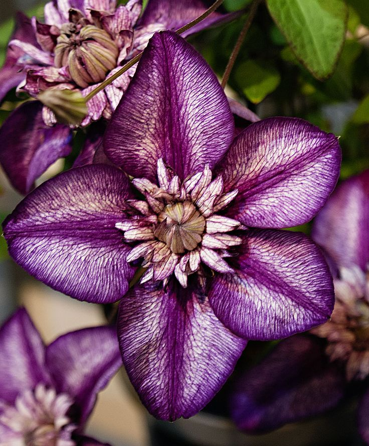 ~~Clematis 'Cassis'~~ to grow around mailbox post