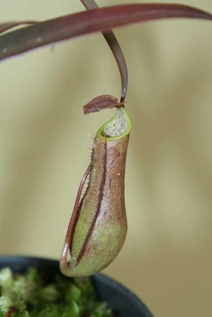 Nepenthes Gracilis Bercak