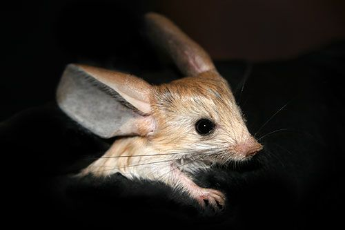 The Long-eared Jerboa, Euchoreutes naso, is an amazing nocturnal mouse-like rodent. It can jump 12 times its own height. It is on the endangered species  list.