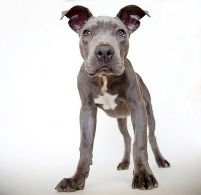 .Dane Puppies, Great Danes, Danes Puppies, Tasty Recipe, Big Feet, Cute Puppies, Animal Photography, Blue Pit, Beautiful Dogs