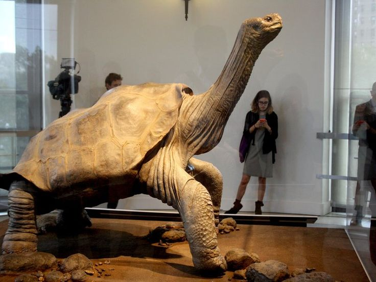 Driven to extinction by overhunting, the world's last Pinta Island tortoise is now a taxidermy display at New York's American Museum of Natural History (article mentions Martha and the last Great Auk)