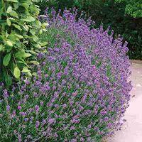 jual benih dan cara menanam lavender
