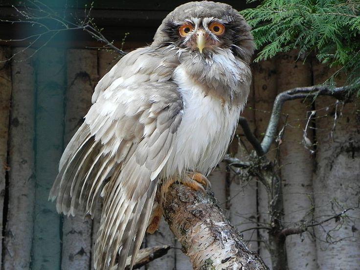 gufo (owl)