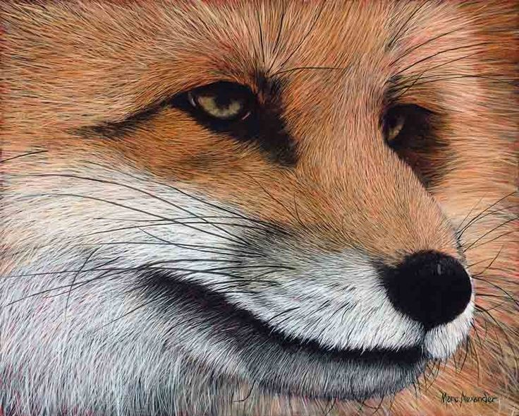 Red Fox, Oil on Canvas, 40cm by 50cm, (2015) by Marc Alexander