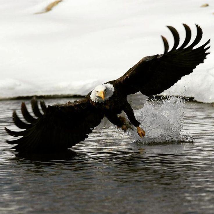 """geographicwild: """" . Фотограф @ (АДЖ Харрисон). Белоголовый Орлан Рыбалка. #Орел…"""