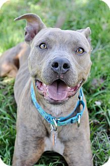 College Station, TX - American Staffordshire Terrier/Pit Bull Terrier Mix. Meet Nolan, a dog for adoption. http://www.adoptapet.com/pet/17553613-college-station-texas-american-staffordshire-terrier-mix