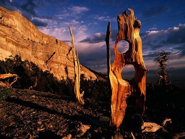 Great Basin National Park in Nevada is home to some of the world's oldest trees—bristlecone pines worn smooth by centuries of wind, sand, and ice. [Photo by Richard Olsenius]
