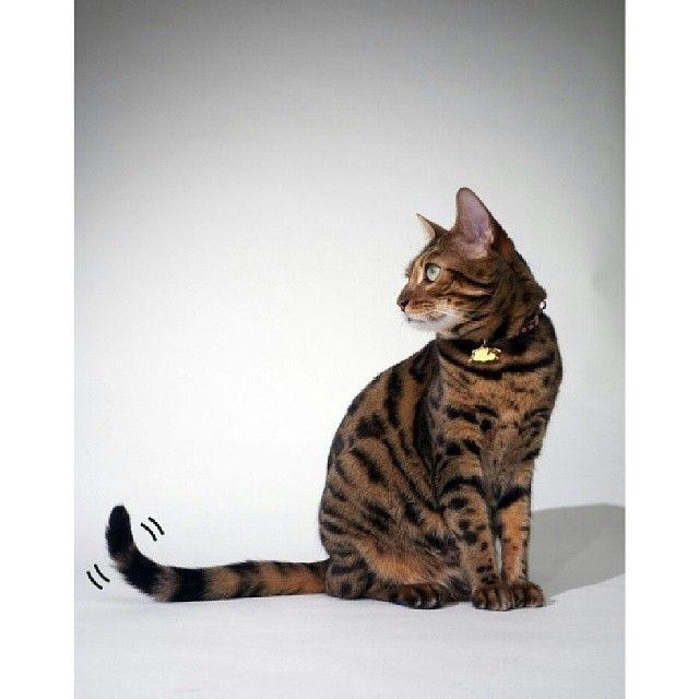 Segunda clase de interpretación del lenguaje corporal de los gatos. Veamos la foto: ¿un gato sentado moviendo la punta de la cola que nos quiere decir? Significa que el gato está alerta, interesado en algo o en alguien y también pensativo. #amorgatuno