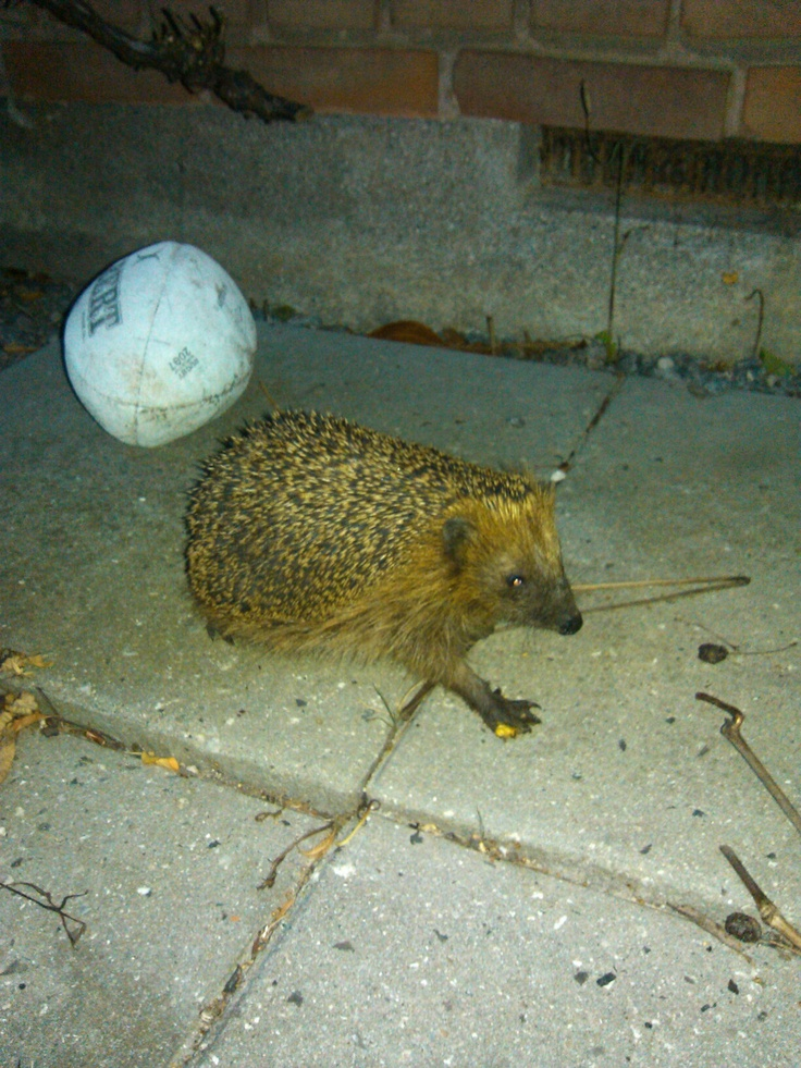 It's not often you see a hedgehog in front of your garden door. Small, cute and totally blind.