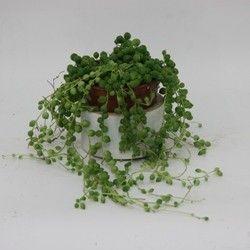 Erbsenpflanze, Perlenschnur, Hängendes Kreuzkraut - Senecio Herreanus (auf FLOORIS)