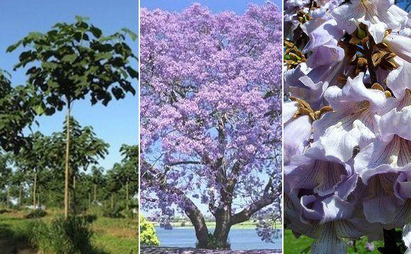 El Kiri, un árbol casi milagroso