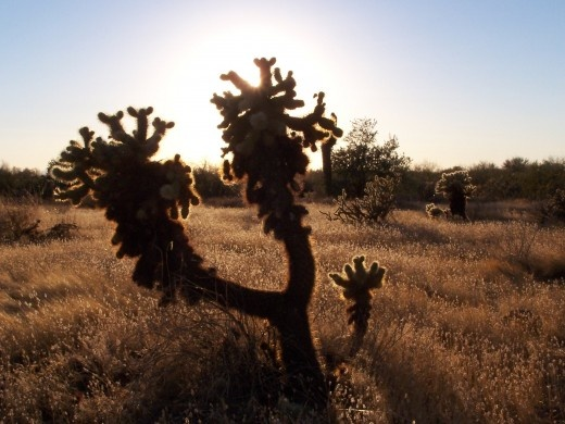 "The ""Teddy Bear"" cholla. Strange and beautiful plants and cacti in the desert."