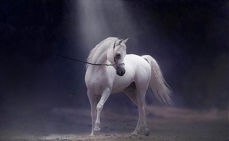 Pure White Arabian Horse