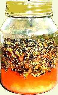 DIY Wasp trap from a screw top jar