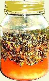 DIY Wasp trap from a screw top jar