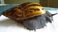 Giant African Land Snails Complete Care Guide