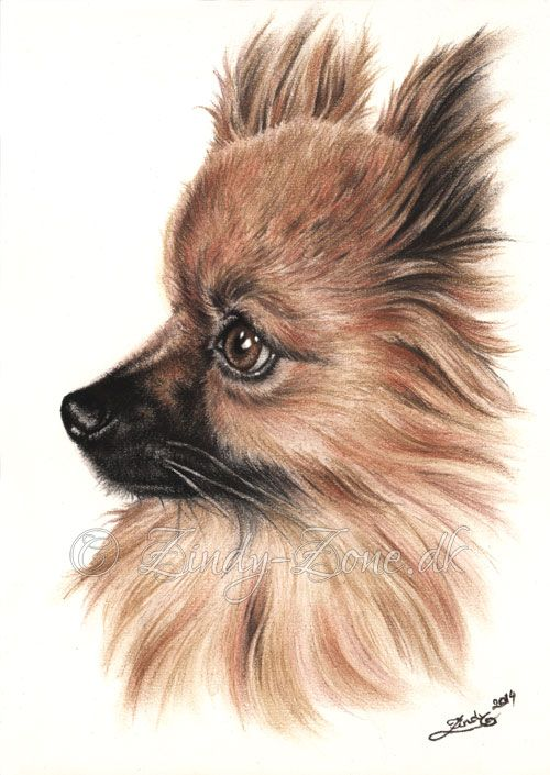 My first colour drawing of a dog, a beautiful Pomeranian. Soft pastels are amazing for this I have found. Maybe it will sparkle my love for pastels once again. I remember the times when I would dra...