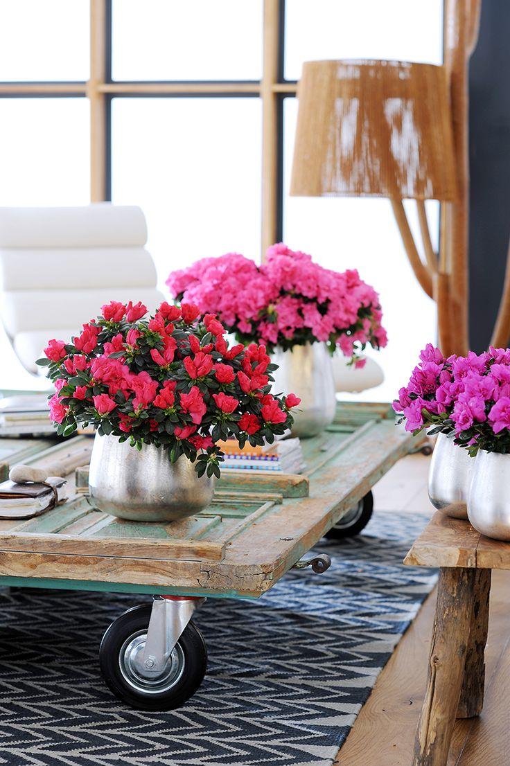 Azalea op tafel met wieltjes...een mini bloemencorso in de huiskamer.