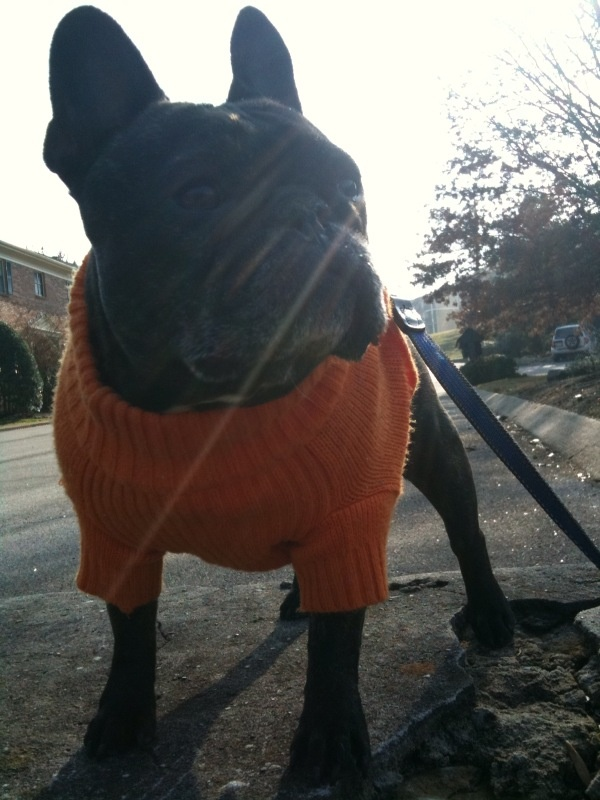 French Bulldog Tennessee Fan - It's football time in Tennessee!