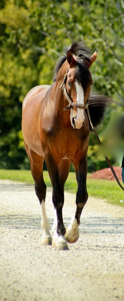 f a r m l i f e  Reminds me of the late, great GATE DANCER....Thoroughbred stallion o/o Ocala, Fl. I LOVED his babies....most seem to hate them!!  SMART ONES!! ... dj
