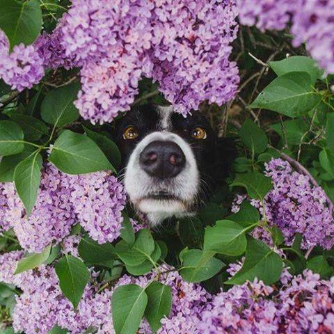 Momo the border collie in the lilac bush