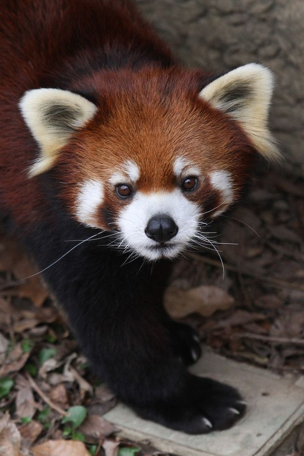 It is impossible to look at their faces without feeling all warm and fuzzy inside. | 17 Reasons Red Pandas Are Earth-Shatteringly Cute